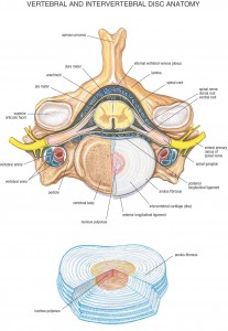 06_Vertebral_and_Intervertebral_Disc_Anatomy